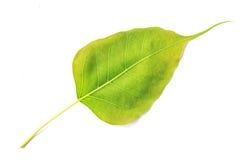 Вена лист Bodhi изолированная на белой предпосылке Стоковое Изображение