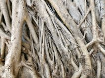 Bodhi or banyan tree roots texture. Background stock images