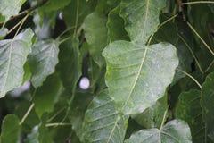 Bodhi Baum Lizenzfreie Stockbilder