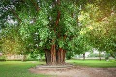 Bodhi Baum Lizenzfreie Stockfotos