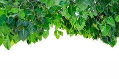 Bodhi-Baum-Abdeckungsschatten auf Hintergrund Stockfotografie