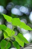 Bodhi-Baum-Hintergrund bokeh Lizenzfreie Stockfotos