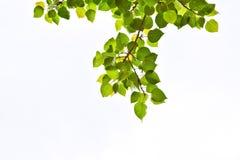 Bodhi-Blätter Stockbild