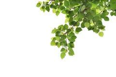 Bodhi-Blätter Stockfotografie