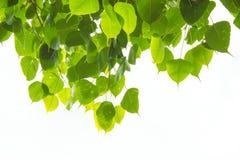 Bodhi-Blätter auf weißem Hintergrund Lizenzfreies Stockbild