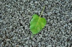 Bodhi blad på stenar Arkivfoton