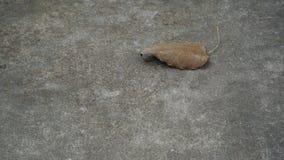 Bodhi-Blatt auf Boden stockfoto