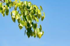 Bodhi-Blatt, Grün verlässt im natürlichen Licht, das als Frieden herein symbolisch ist stockfotografie