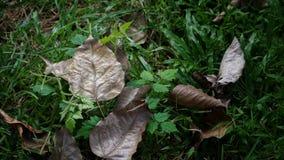 Bodhi-Blatt im Garten stockfotos