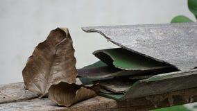 Bodhi-Blatt und gebrochene Dachplatte lizenzfreies stockfoto