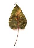 Bodhi-boom blad met schaduw Royalty-vrije Stock Afbeeldingen