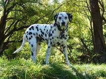 Bodhi the dalmation in Arrowtown, New Zealand. Bodhi the spotty dalmation against Autumn colours in Arrowtown, New Zealand stock photo