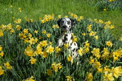 Bodhi the dalmation in spring daffodils. My dog Bodhi the dalmation in amongst spring daffodils stock image