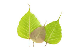 Bodhi drzewa liść Obrazy Stock
