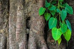 Bodhi drzewo Zdjęcia Royalty Free