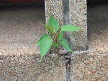 Bodhi Drzewo zdjęcie royalty free