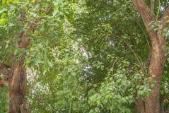 Bodhi drzewo Obrazy Royalty Free