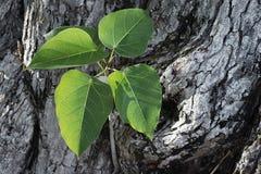 Bodhi, fondo, bianco, foglia, albero, foglie, verde, natura immagini stock