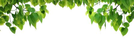 Bodhi green leaf tree. royalty free stock photography