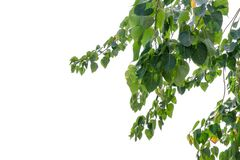 Bodhi green leaf tree  on white background stock photography