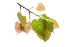 Bodhi laisse d'isolement sur le fond ou la feuille blanc de Peepal de l'arbre de Bodhi images libres de droits