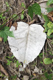 Bodhi leaf Stock Images