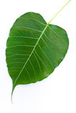 The Bodhi leaf Stock Photography