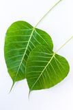 The Bodhi leaf Stock Images