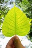 Bodhi leaf Arkivfoton