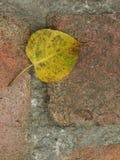 Bodhi leaf Arkivfoto