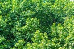 Bodhi leaf Royaltyfri Fotografi