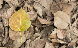Bodhi leaf Royalty Free Stock Photography