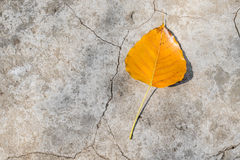 Bodhi leaf Stock Photography