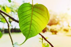 Bodhi Leaf Green fresh nature ecology with sunlight. Photosynthesis Royalty Free Stock Photos