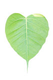 Bodhi Leaf. Royalty Free Stock Photos