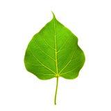 Bodhi leaf Stock Image