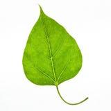 Bodhi leaf Stock Photos