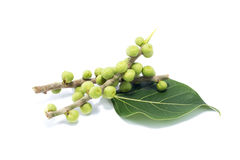 Bodhi leaf Stock Images