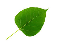 Bodhi leaf isolated Stock Photography