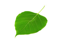 Bodhi leaf isolated Royalty Free Stock Photos