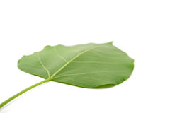 Bodhi leaf isolated Stock Image