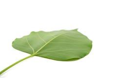 Bodhi leaf isolated Stock Image