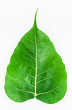 Bodhi leaf isolated. On white background Royalty Free Stock Image