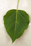 Bodhi Leaf Royalty Free Stock Images