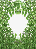 Bodhi Leaf Shape Stock Images