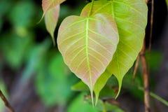 Bodhi leaf. Symbol of buddha Stock Photography