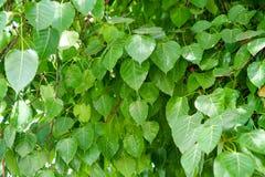 Bodhi leaf. Symbol of buddha Royalty Free Stock Images