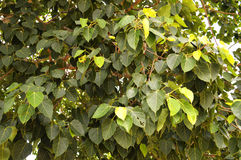Bodhi Leaf Royalty Free Stock Image