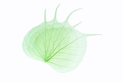 Bodhi leaf vein Royalty Free Stock Photos