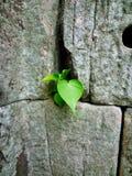 Bodhi leaf Royalty Free Stock Photos